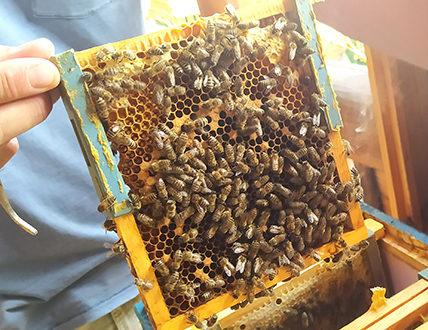 Ramka pszczelarska a na niej pszczoły